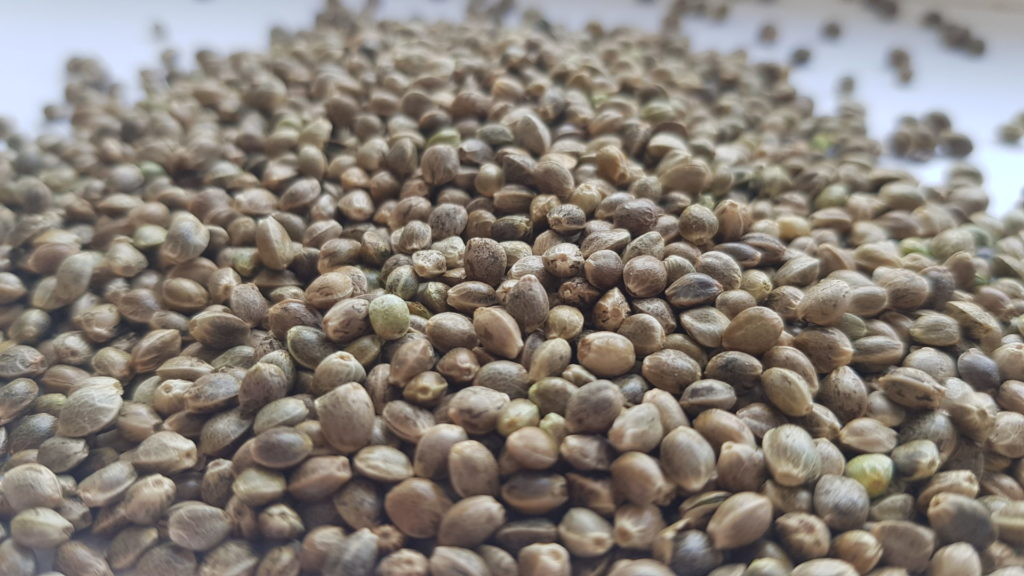 Kombinat-Konopny-nasiona-konopi-uprawa-k